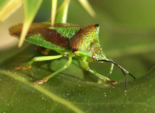 You can see the black stylet of this shield bug