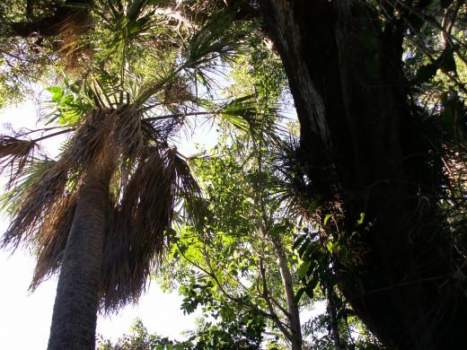 Hardwood Hammock in the Everglades