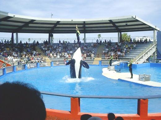 Lolita the Whale entertains visitors at the Miami Seaquarium in Miami, Florida.