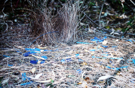 Bower Nest with Blue Findings