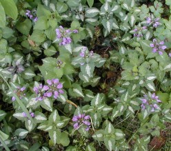 Lamium Might Solve Your Groundcover Dilemma