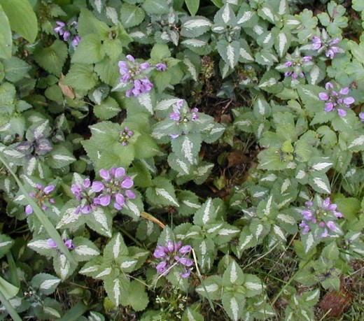 """Lamium maculatum """"Chequers"""""""