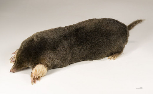 Side view of a mole