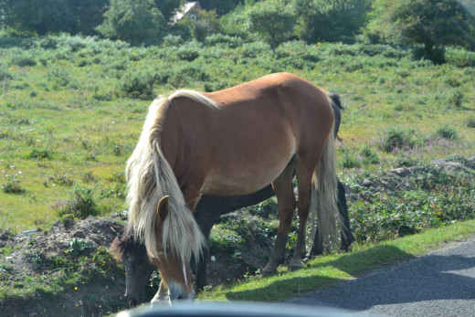 A walking holiday can be beneficial for mind and body. Image of New Forest Ponies