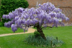 How To Grow Wisteria