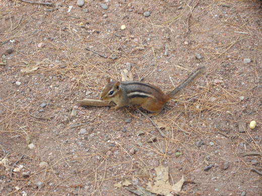 Chipmunks can be fun to watch