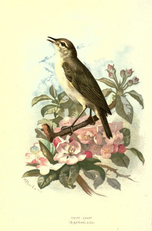 Familiar Wild Birds -W. Swaysland 1883