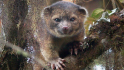 What in the world is a Olinguito?