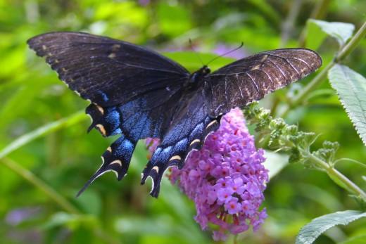 Attract butterflies to the garden.