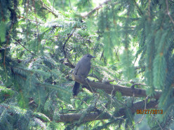 Catbird - The Family in My Yard