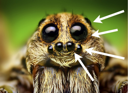 This close up picture of a wolf spider shows its four pairs of eyes.