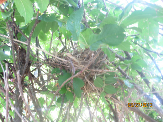The nest built deep within the bush.