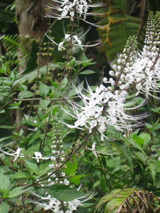 Cat's Whiskers  (Orthosiphon Stamineus) flowers in Hawaii Tropical Botanical Garden