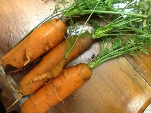 Home Grown Carrots, freshly dug from the front garden