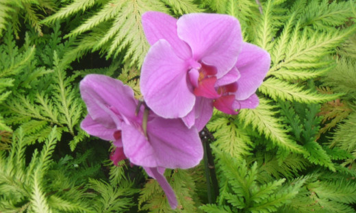 One of the many orchids in the Hawaii Tropical Botanical Garden