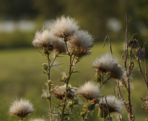Exploded Thistles