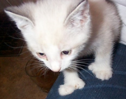 """One of China's Siamese mix kittens was polydactyl. The """"mitten"""" look."""