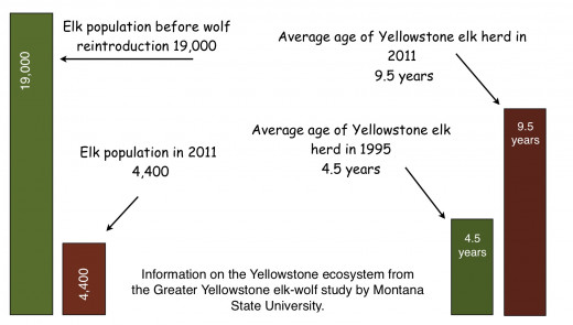 The average age of elk in the Yellowstone area has increased dramatically. This means that new calves are not being born or are not surviving to become part of the population.