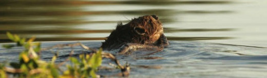 Beavers are benefiting from an increase in aspen and willow plants as a result of wolf predation on elk.