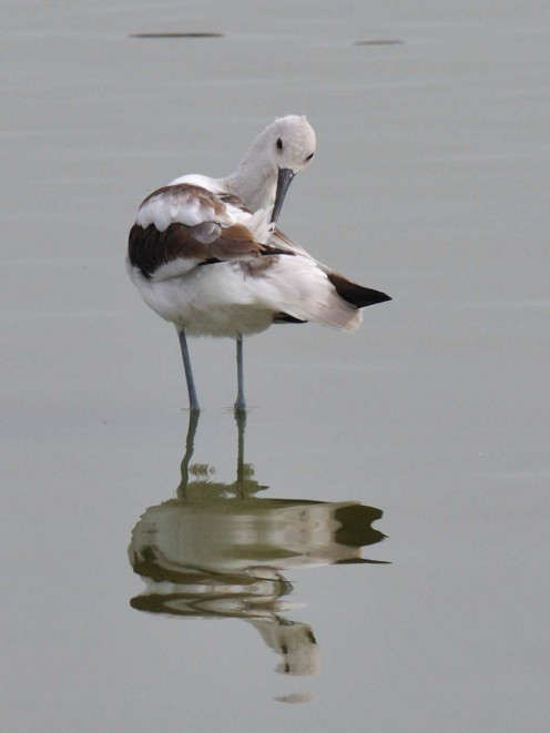 An American Avocet preening while standing in shallow water near Radio Road, Redwood Shores, (See capsule 'Grooming & Preening')
