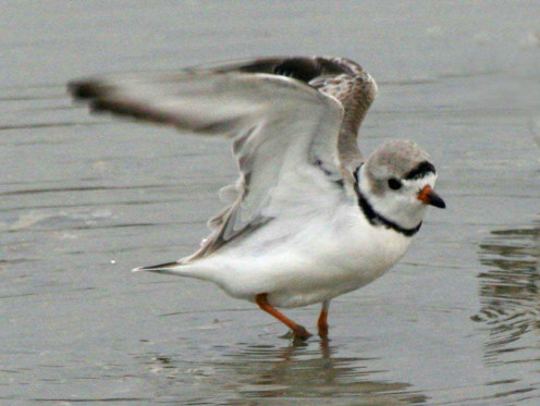 Piping Plover (Charadrius melodus) - North Carolina (See capsule 'Stretching')