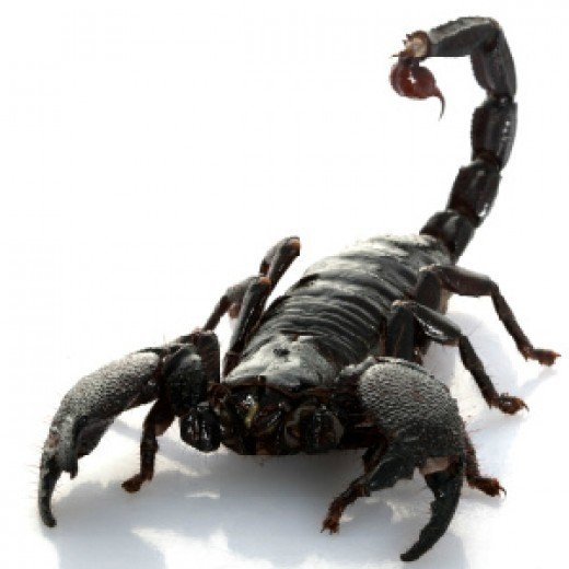 Not all scorpions are created equal.