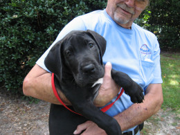 How to house train a puppy is extremely important when the pups are Great Danes!