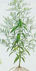 Andrographis paniculata, an anti-spirochetal herb (Lyme disease is caused a spirochetal bacterium).