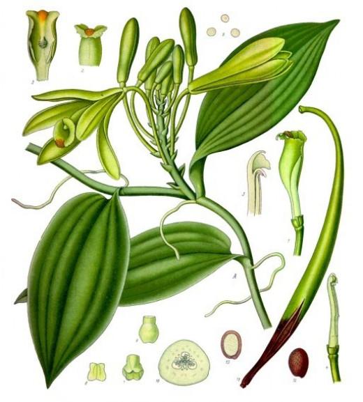 Vanilla planifolia, in Koehler's Medicinal Plants book