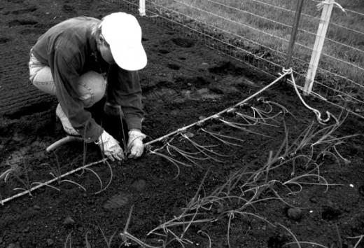 Planting Onions