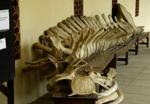 Whale Vertebrae at Fort Jesus Museum