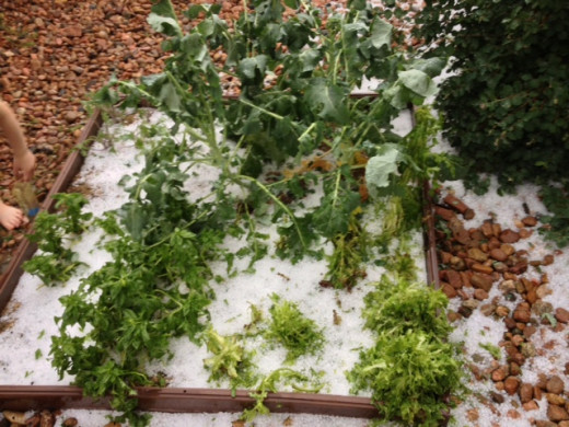 Broccoli, lettuce and spinach hit by hail