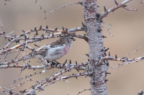 This is a photo of a male Hoary Redpoll. Churchill, Manitoba