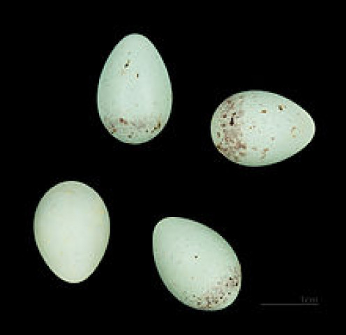 This is what Hoary Redpoll eggs look like.