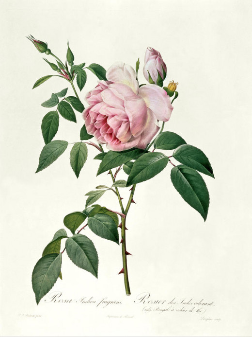 Rosa odorata, the tea rose a hybrid variety from R. gigantea.