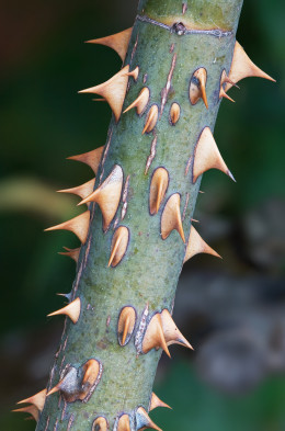 Rose prickles,  outgrowths of the epidermis.