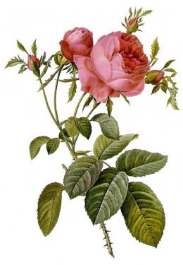 Rosa centifolia, a complex hybrid.