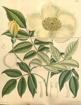 Rosa gigantea, another parent species of modern roses