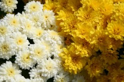 Types of Chrysanthemums for the Home Flower Garden
