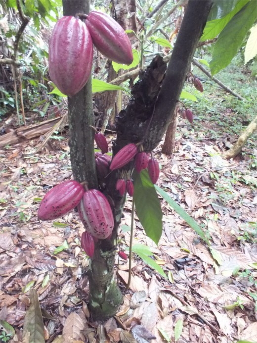 Cocoa comes from a cacao tree.