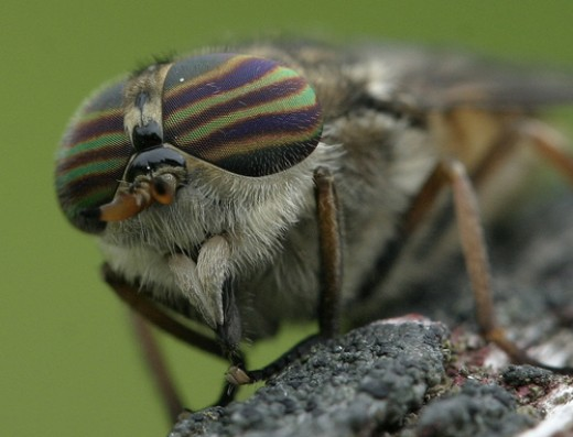 Horse-fly can transmit anthrax