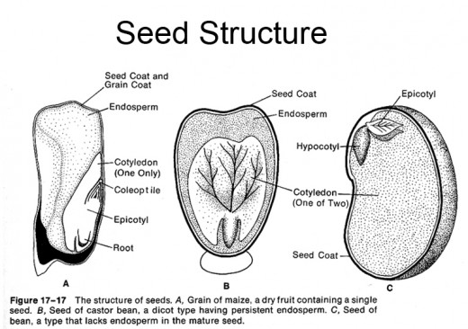 Structure of various plant species seeds that can be used in class