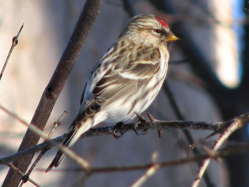 Here is a female Greenland Redpoll.