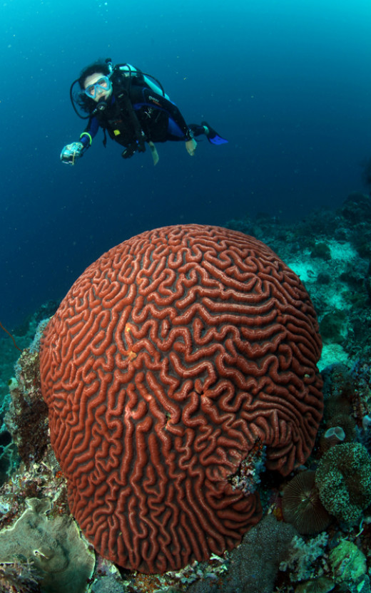 Scuba diver and Brain coral - photo by Ola-Welin