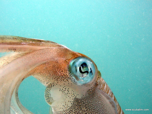 Squid - Photo by Tim Ho