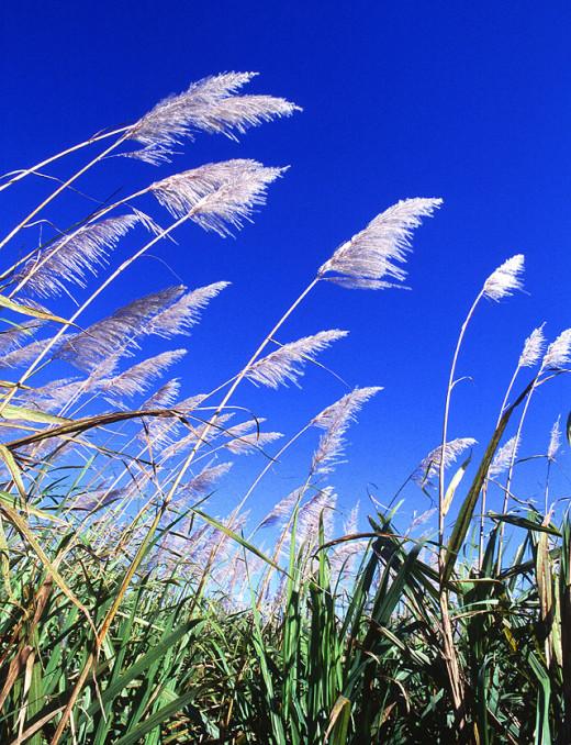 Sugarcane inflorescences.
