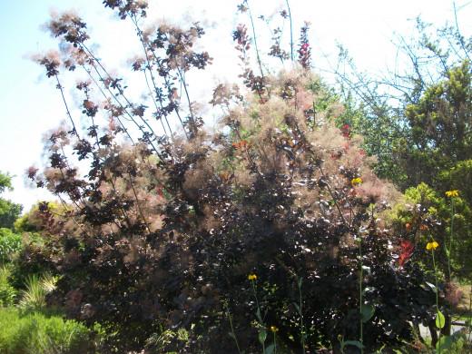 Sleepy Mallow (Malvaviscus arboreous var. drummondii)