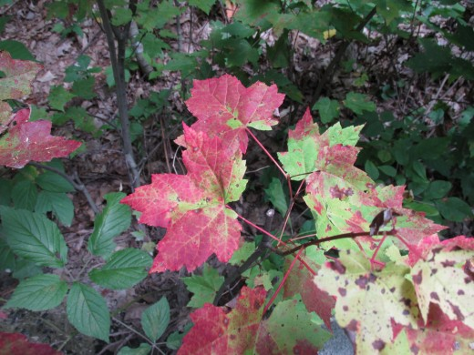 'Wine-spattered' maple leaves give us a tantalizing preview of the show to come.