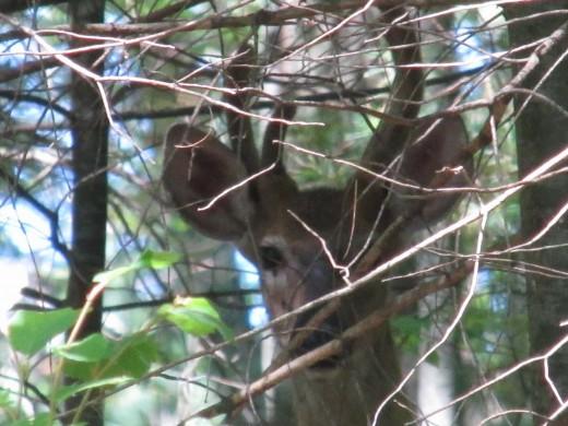 Deer with velvet-covered antlers.
