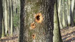 'Roadside cafe'   Holes drilled into the tree as the hunt for food continues.